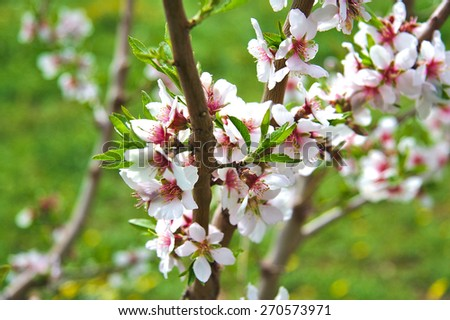 Beautiful almond tree blooming on green background - stock photo