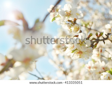 Beautiful almonds blooming tree close-up with bokeh and sun light. Beautiful spring tender flowers blossom. White almonds flower close-up. Spring time background. White spring flowers blooming tree. - stock photo