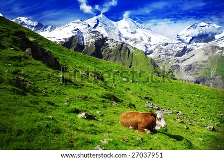 Beautiful alpine landscape with peaks covered by snow and green grass with cow in the foreground. Emphasis on the cow caused by comming light. - stock photo