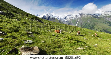Beautiful alpine panoramic landscape with peaks covered by snow and green grass with cows in the foreground. - stock photo
