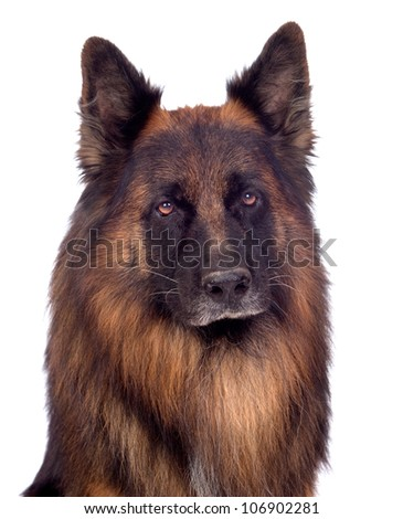 Beautiful alsatian isolated on white background