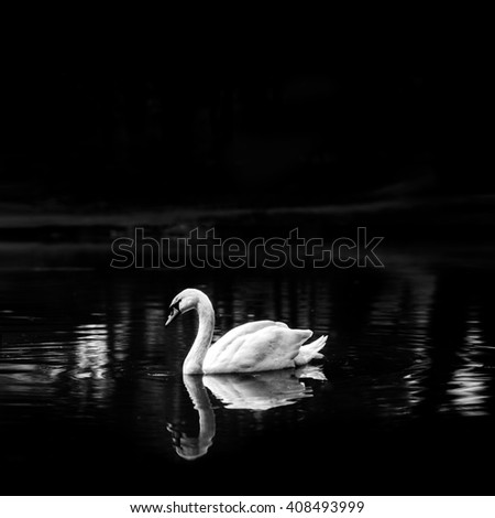 beautiful amazing white swan floating on lake alone on background of his water reflection, black and white photography - stock photo