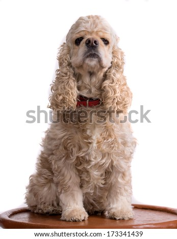 Beautiful american cocker spaniel sitting in front of white background - stock photo