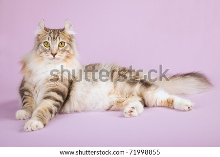 Beautiful American Curl cat on lilac background - stock photo