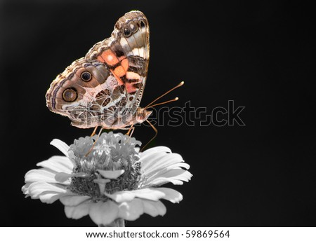 Beautiful American Painted Lady butterfly, color spot on black-and-white - stock photo