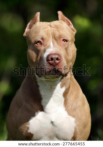 beautiful American Pit Bull Terrier dog portrait in nature - stock photo