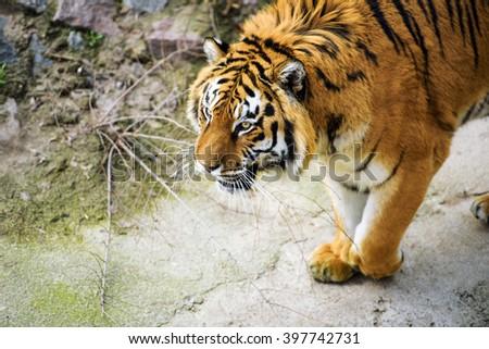 Beautiful amur tiger - stock photo