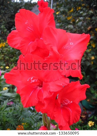 beautiful and bright flower of red gladiolus