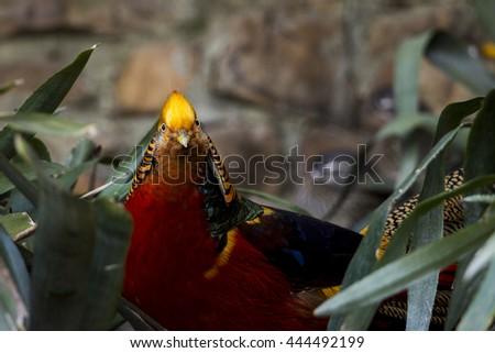 Beautiful and colorful Golden Pheasant at Cape Town, South Africa, Africa - stock photo