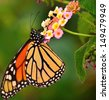 Beautiful and colorful monarch butterfly sucking the exquisite juices of  splendid lantana camara flowers, on a unfocused natural green background - stock photo