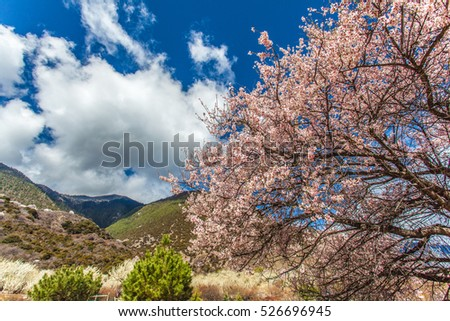 Beautiful and colorful peach blossoms,  mountain and clouds in the background
