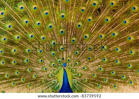 Beautiful and colorful peacock plumage tail - stock photo