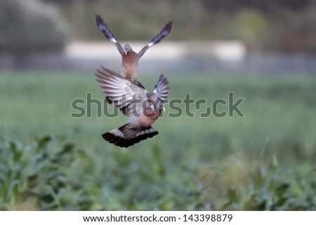 Beautiful and colorful wild european wood pigeon in flight, landing in a green corn field - stock photo