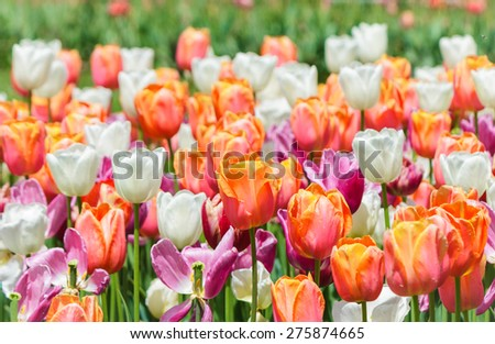 Beautiful and colourful tulips in garden of Keukenhof, Holland.