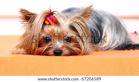 Beautiful and cute york terrier dog at home