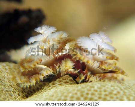 Beautiful and delicate Christmas tree worm (Spirobranchus giganteus) - stock photo
