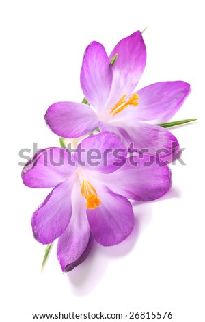 beautiful and delicate flowering crocus part of the iris family.