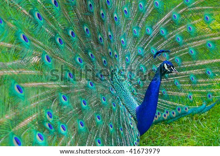 Beautiful and elegant male peacock with tail feathers spread out. - stock photo