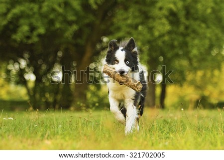 beautiful and fun border collie dog or puppy runs and carries a stick in its mouth playfully behavior