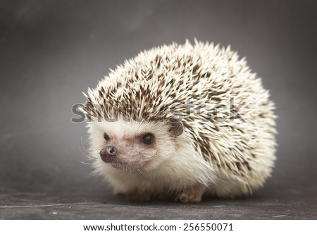 beautiful and fun rodent hedgehog background - stock photo