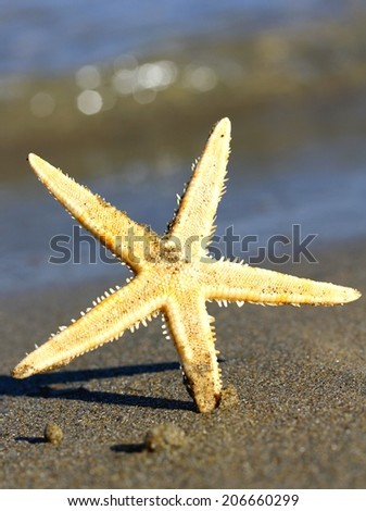 beautiful and giant sea Star Ocean Beach photographed with macro lens - stock photo