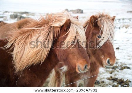 Beautiful and handsome Iceland horse