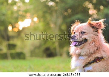 Beautiful and happy dog in the park with soft golden light behind. Image of a beautiful dog outdoors with space for an inspirational quote about happiness and love. - stock photo