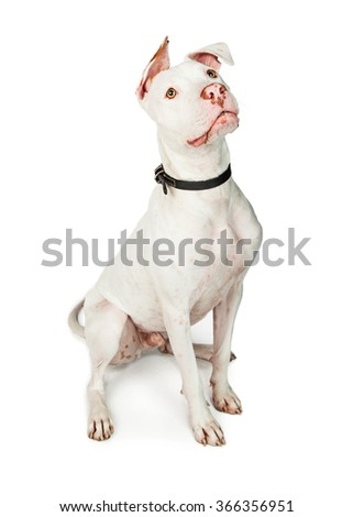 Beautiful and obedient white color Pit Bull mixed breed dog sitting on a studio background looking up - stock photo