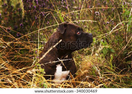 beautiful and sad brown Staffordshire Bull Terrier dog or puppy patiently and dutifully waits in a field full of purple spring flowers - stock photo