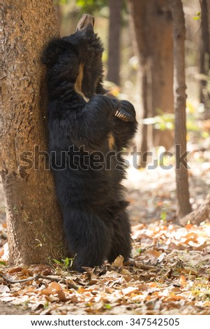 Beautiful and very rare sloth bear in the nature habitat in India - stock photo