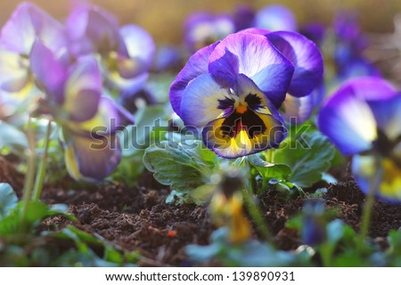 Beautiful and vivid violet with soft light and de-focused background