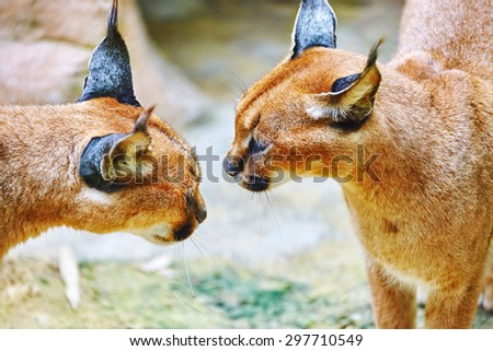 Beautiful and Wild Caracal or Prairie lynx in its natural habitat. - stock photo