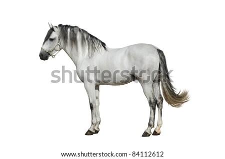 Beautiful andalusian stallion on the white background - stock photo