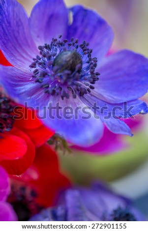 Beautiful anemones blue, red, purple and blue multicoloured.