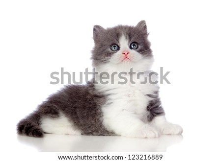 Beautiful angora kitten with gray hair looking up isolated on white background