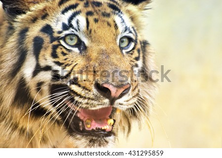 Beautiful angry face of Royal Bengal Tiger , Panthera Tigris, West Bengal, India . It is largest cat species and endangered , only found in Sundarban mangrove forest of India and Bangladesh. - stock photo