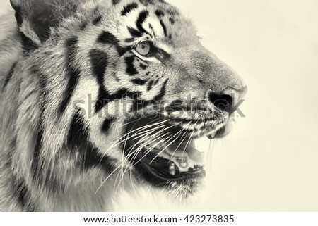 Beautiful angry face of Royal Bengal Tiger , Panthera Tigris, West Bengal, India. It is largest cat species and endangered, in Sundarban mangrove forest of India and Bangladesh. Black and white image. - stock photo