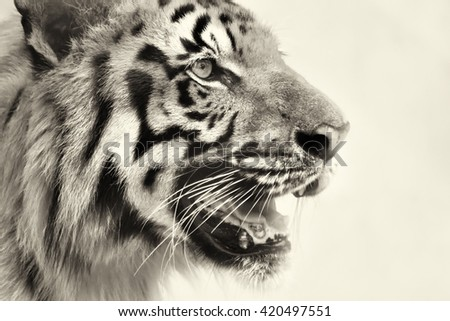 Beautiful angry face of Royal Bengal Tiger , Panthera Tigris, West Bengal, India - tinted image . It is largest cat species and endangered , found in Sundarban mangrove forest of India and Bangladesh. - stock photo