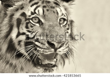Beautiful angry face of Royal Bengal Tiger , Panthera Tigris,West Bengal, India - tinted image.It is largest cat species and endangered,only found in Sundarban mangrove forest of India and Bangladesh. - stock photo