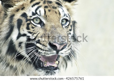 Beautiful angry face of Royal Bengal Tiger, Panthera Tigris, West Bengal, India - tinted image.It is largest cat species and endangered,only found in Sundarban mangrove forest of India and Bangladesh. - stock photo