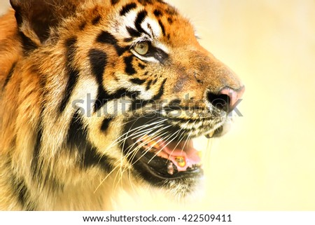 Beautiful angry face of Royal Bengal Tiger,Panthera Tigris, West Bengal, India - tinted image.It is largest cat species and endangered, only found in Sundarban mangrove forest of India and Bangladesh. - stock photo