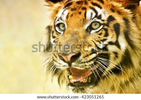 Beautiful angry face of Royal Bengal Tiger, Panthera Tigris, West Bengal, India- tinted image.It is largest cat species and endangered, only found in Sundarban mangrove forest of India and Bangladesh. - stock photo