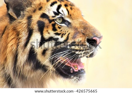 Beautiful angry face of Royal Bengal Tiger,Panthera Tigris West Bengal, India - tinted image.It is largest cat species and endangered , only found in Sundarban mangrove forest of India and Bangladesh. - stock photo