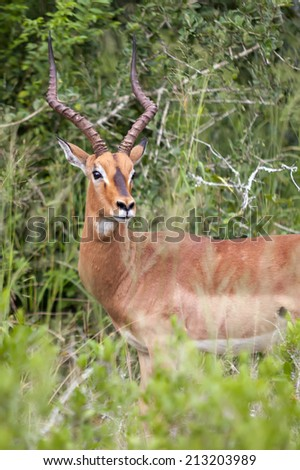 Beautiful antelope in a grass fields in South Africa - stock photo