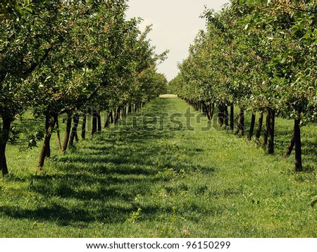 Beautiful apple orchard in a row at both sides. - stock photo