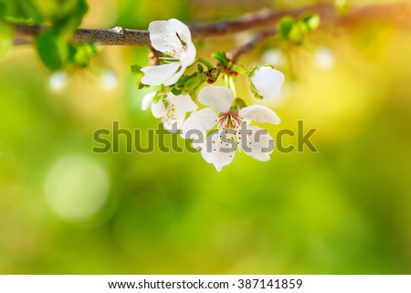 Beautiful apple tree blooming, gentle little white flowers on twig over blur green background, beauty of spring season - stock photo