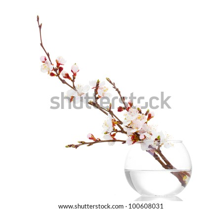 beautiful apricot blossom  in transparent vase isolated on white - stock photo
