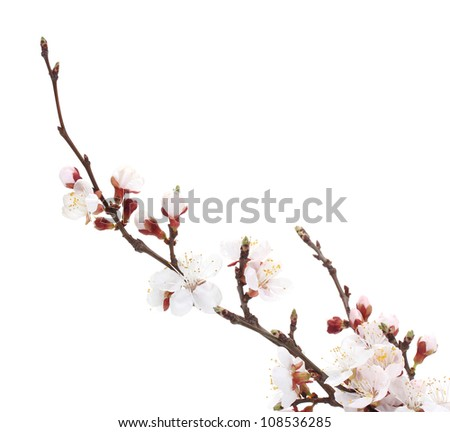 beautiful apricot blossom isolated on white - stock photo
