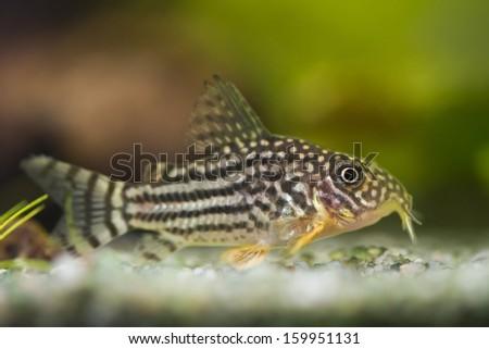 beautiful aquarium fish Corydoras sterbai - stock photo