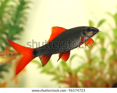 beautiful aquarium fish Red Tail Shark (Labeo bicolor) - stock photo